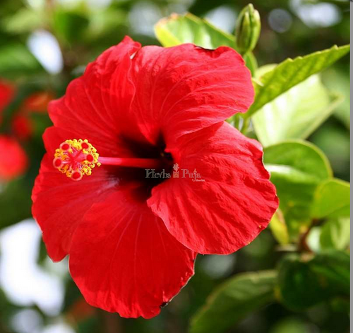 Hibiscus Flower Powder Pack Size 4 X 50g Rs 240 Pack Id