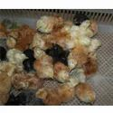 Gramapriya Chicken Chicks