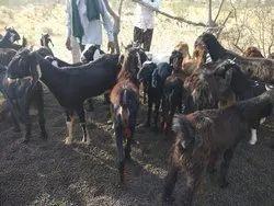 Mandi Goat