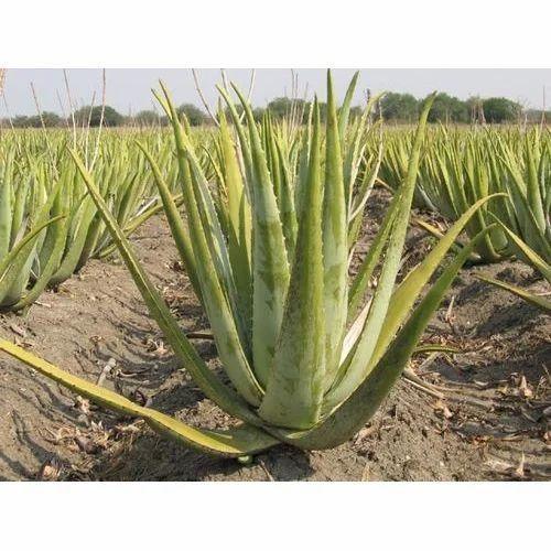 Medicinal Aloe Vera Plant At Rs 2 5 Piece Aloe Vera