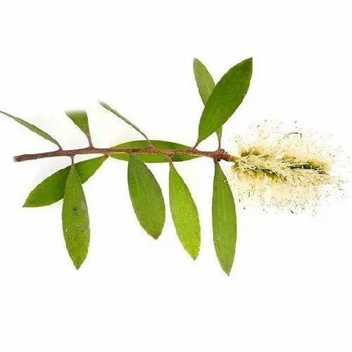 Cajeput Essential Oil, Essential & Aromatic Oils | Aarnav