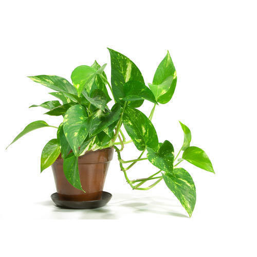 indoor plant indoor money plant producers from pune