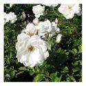 White Rose Plants