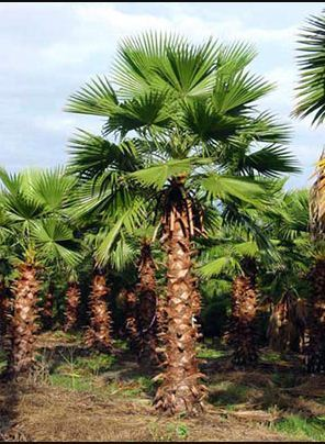 Washingtonia Robusta Palm Tree खजूर के पेड़ Garden