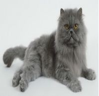 Persian cat prices in india