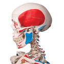 Max Classic Skeleton With Muscle Insertions And Origins