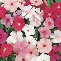 Natural Catharanthus Roseus Seeds, For Agriculture, Packaging Type: Packet