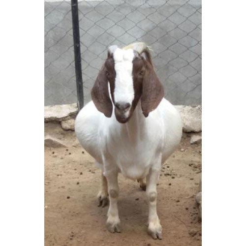 Boer Female Goat