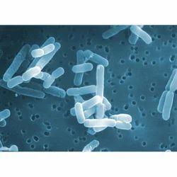 Lactobacillus Reuterii Probiotics