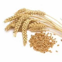 Indian Wheat Grain Seed