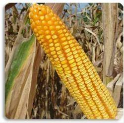 Jasmine Hybrid CP 333 Maize Seeds, Rs 1500 /pack, Charoen