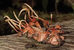 Cordyceps Testing Services