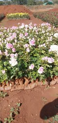 Revival Pink Dutch Rose Plants