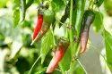 Organic Chilli