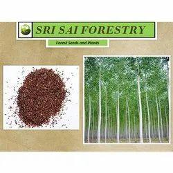 Eucalyptus Grandis Seed
