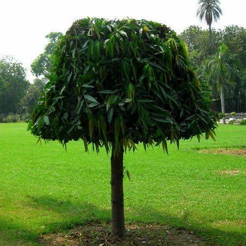 ashoka tree,nari