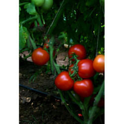 Hybrid Tomato Seeds TM - 1119