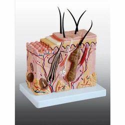 Skin Block Model Enlarged/ Skin tissue Model