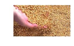 Wheat in Patna, गेहूँ, पटना - Latest Price & Mandi Rates