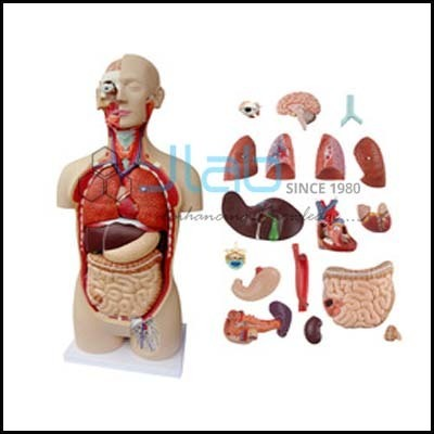 Human Anatomy Torso 10 Parts at Rs 100 /piece | Torso Models | ID ...