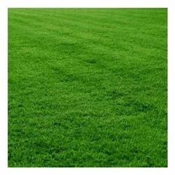 Green Mexican Lawn Grass