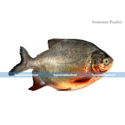 Fresh Water Pomfret Fish (Roopchand), Packaging Type: Thermocol Box