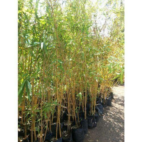 golden bamboo plant at rs 150 piece bamboo plants id 14459353148