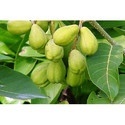 Dried Terminalia Chebula- Haritaki Fruits