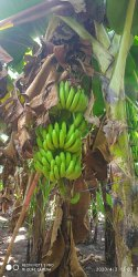 Pan India Fresh Green Banana, Packaging Size: 20 Kg