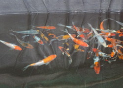 Polythene Film For Fish Breeding