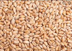 Subh Labh Dried Wheat Seeds, Packaging Type: Bag, Packaging Size: 40 Kg