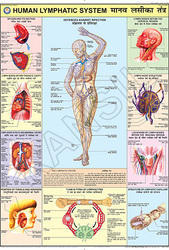 Human Lymphatic System  For Human Physiology chart