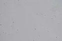 Buff Grey Quartzite