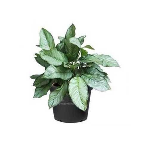 Aglaonema Cecilia At Rs 350 Piece Indoor Plants Mashrita Nature