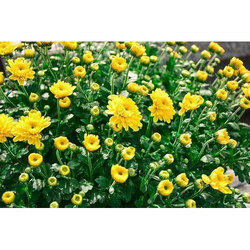 Chrysanthemum Flowering Plant