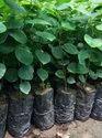 Indian Sandalwood Plant