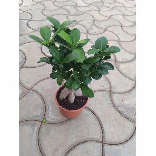 35 CM Ficus Bonsai Live Plant