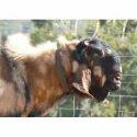 Organic Ram Sheep Feed