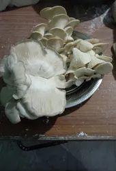 Chippy Kalan ( Oyster Mushroom )