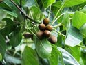 Baheda / Bahera / Terminalia Bellirica Tree Seeds