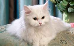 Persian cat rate in mumbai