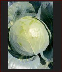 Ajeet - Trust Hybrid Cabbage