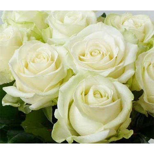 Avalanche rose flower rose flowers rathna distributors bengaluru avalanche rose flower mightylinksfo