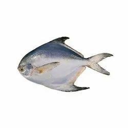 Silver Pomfrets Fish