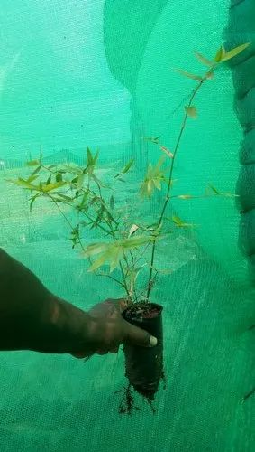 Bamboo Plant Manufacturer from Mysore