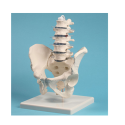 Human Male Pelvis With Lumbar Vertebrae Models