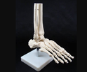 Kay Kay Pvc Human Foot Joint Model, For Medical College, Size: Life Size