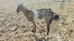 Pet Goat in Chennai - Latest Price & Mandi Rates from
