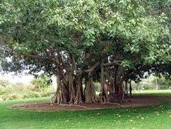 Ficus Benghalensis Plants