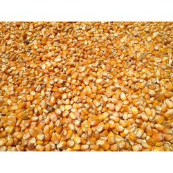 Dry Place Raw Maize Cattle Feed, Packaging Type: PP Bags